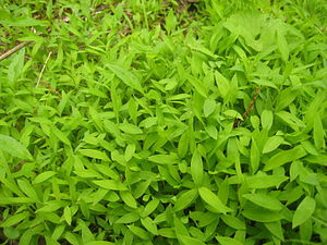Groundcover - Microstegium vimineum, an invasive groundcover.
