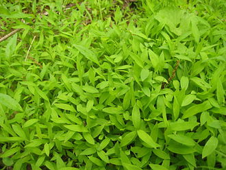 Groundcover - Microstegium vimineum, an invasive groundcover