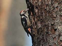 Middle Spotted Woodpecker, Białowieża Forest, Poland (4664077773).jpg