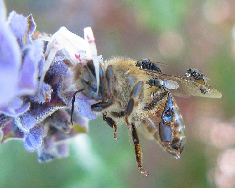 File:Milichiidae attending Thomisid spider feeding on bee 7944s.jpg