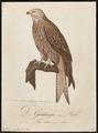 Milvus regalis - 1800-1812 - Print - Iconographia Zoologica - Special Collections University of Amsterdam - UBA01 IZ18200328.tif