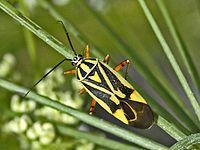 Miridae - Brachycoleus decolor.JPG