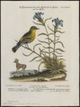 Mniotilta maculosa - 1700-1880 - Print - Iconographia Zoologica - Special Collections University of Amsterdam - UBA01 IZ16300045.tif