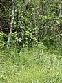 Molinia caerulea Kemi, Finland 15.07.2013.jpg