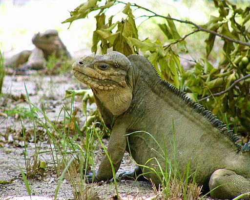Mona island iguana sitting down looking to the left