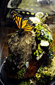 Monarch Butterfly Taxidermy 02.jpg