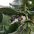 Monarch butterfly Aruba.jpg