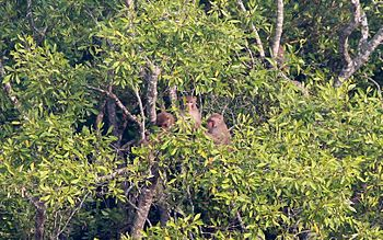 Monkeys of Sunderbans.jpg