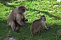 Monos capuchino (8790621783).jpg