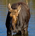 Moose in Grand Teton National Park 1 (7994226793).jpg