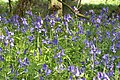 More Bluebells in Kingswood - geograph.org.uk - 425778.jpg