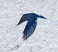 Mountain Blue Bird 2 (8039002999).jpg