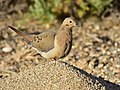 Mourning dove on Seedskadee National Wildlife Refuge (35318690351).jpg