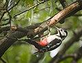 Mrs Woodpecker (48597847492).jpg
