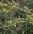 Mucuna pruriens (Khajkuiri) in Kawal, AP W IMG 1506.jpg