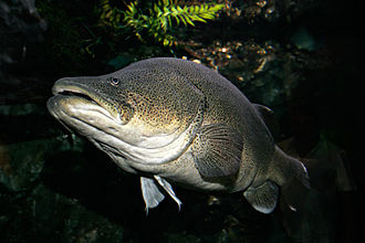 Murray cod - Image: Murray cod 02 melb aquarium