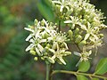 Murraya koenigii flowers at Peravoor (9).jpg