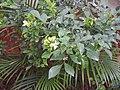 Murraya paniculata-3-csi chruch-salem-India.jpg