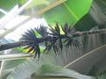 Musa sumatrana1.jpg
