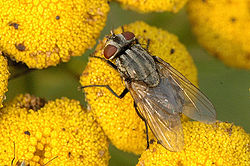 Musca.autumnalis.female.jpg