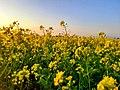 Mustard field, Dhemaji.jpg