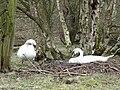 Mute Swan Nest 05-04-10 (4494401345).jpg