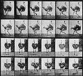 Muybridge, Eadweard - Strauß im Anlauf (0.52 Sekunden) (Zeno Fotografie).jpg
