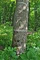 Mykulyntsi-buky-n4-15056873.jpg
