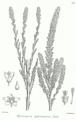 Myricaria germanica Bra8.png