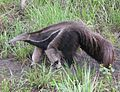 Myrmecophaga tridactyla, Pantanal region, Brazil (cropped).jpg