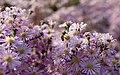 Myrtenaster Pink Star (Aster ericoides) Honigbiene (Apis mellifera) Blumengärten Hirschstetten Wien 2014 a.jpg