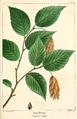 NAS-109 Ostrya virginiana.png