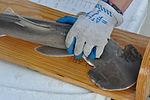 NOAA fishery science center measuring bonnethead shark pup.JPG