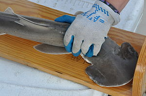 National Marine Fisheries Service - Measuring a juvenile bonnethead shark