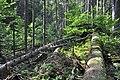 NPR Boubínský prales 20120910 13.jpg