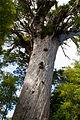 NZ150415 Waipoua Forest Tane Mahuta 01.jpg