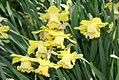 Narcissus Bookmark 0zz.jpg