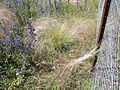 Nassella trichotoma plant1 (7370882818).jpg