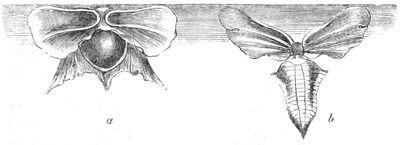 Natural History - Mollusca - Glass shells.png