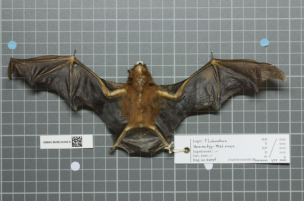 The average adult weight of a Chestnut sac-winged bat is 9 grams (0.02 lbs)