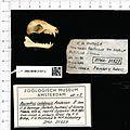 Naturalis Biodiversity Center - ZMA.MAM.21527.a lat - Rousettus celebensis - skull.jpeg