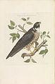 Nederlandsche vogelen (KB) - Falco subbuteo (229pl).jpg