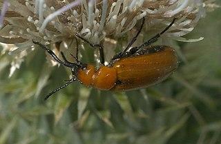 <i>Nemognatha</i> genus of insects