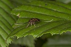 Nemophora degeerella, Lodz(Poland)11(js).jpg