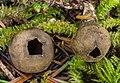Neournula pouchetii (Berthet & Riousset) Paden 740623.jpg