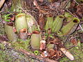 Nepenthes ampullaria elongated.jpg