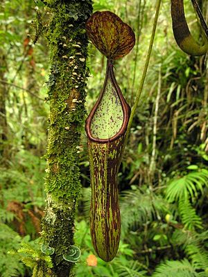 Mount Apo - Nepenthes copelandii lower pitcher on Mount Apo