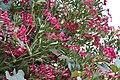 Nerium oleander 2 2017-07-20.jpg