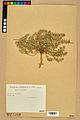 Neuchâtel Herbarium - Alyssum alyssoides - NEU000021957.jpg