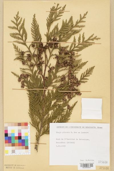 File:Neuchâtel Herbarium - Thuja plicata - NEU000003614.tiff